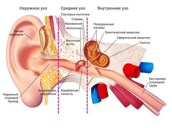 Наружное, среднее и внутреннее ухо