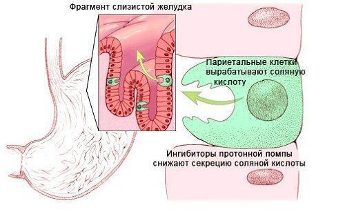 Париетальная клетка желудка