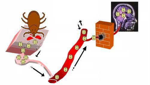 Механизм проникновения вируса в нервную систему