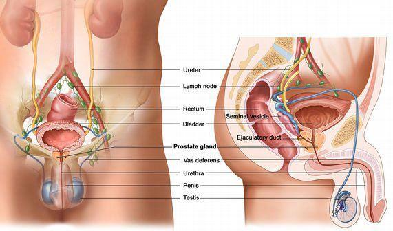 Расположение предстательной железы