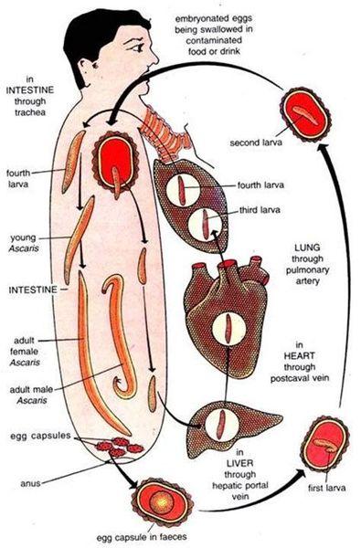 Путь паразита по организму человека