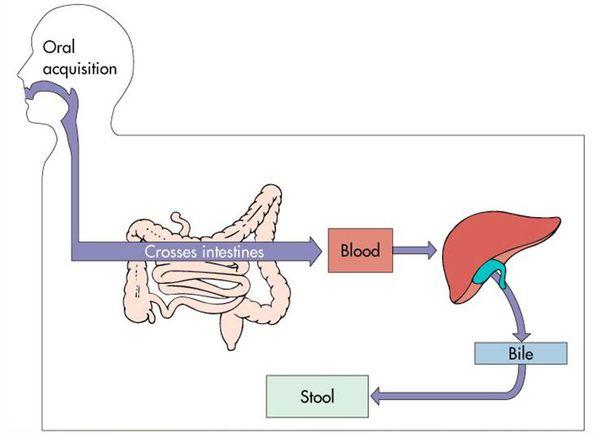 Путь распространения гепатита А в организме человека