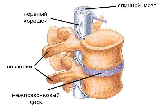 Анатомия участка позвоночника