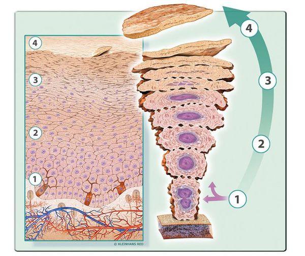 Кератинизация клеток