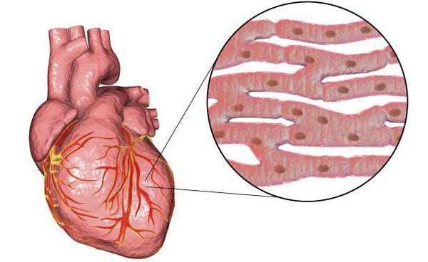 Мышечные волокна сердца