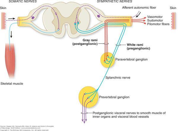 Вегетативная рецепторная система