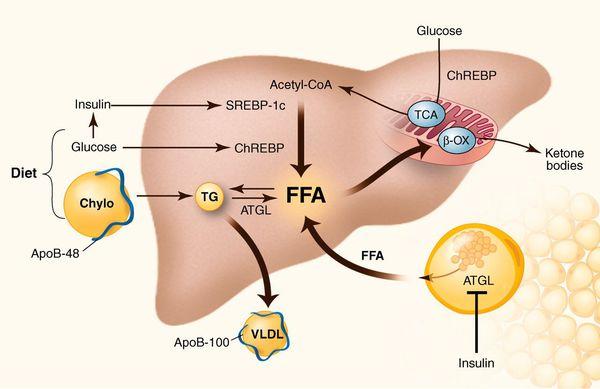 Механизм накопления холестерина в печени
