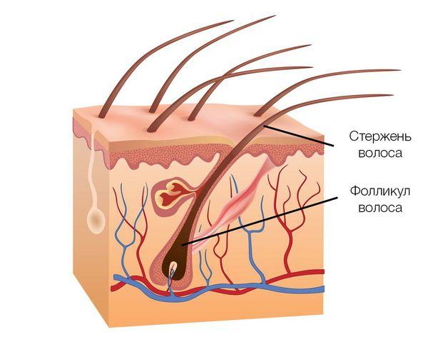 Строение волоса