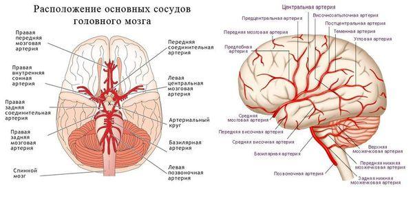 Расположение основных сосудов головного мозга
