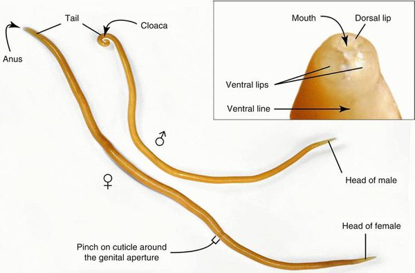 Человеческая аскарида (Ascaris lumbricoides)