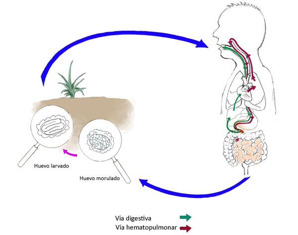 Механизм передачи аскаридоза