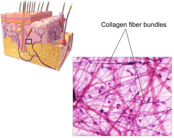 Пучки коллагеновых волокон