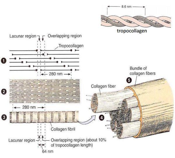 Строение коллагеновых волокон