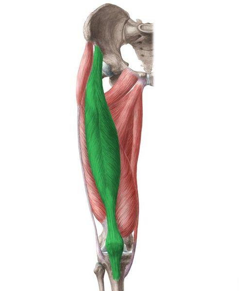 Четырёхглавая мышца бедра