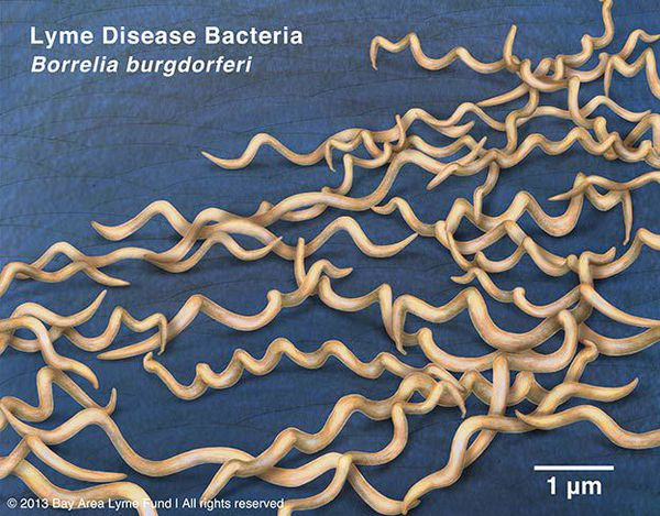 Бактерии рода Borrelia