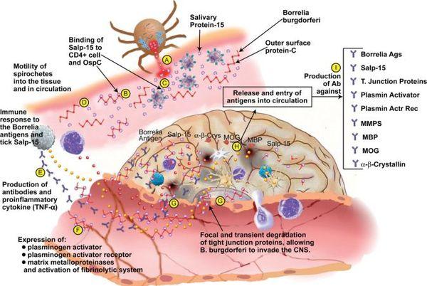 Механизм зарождения и развития болезни Лайма