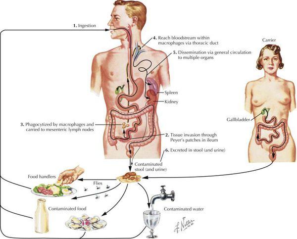 Механизм передачи брюшного тифа