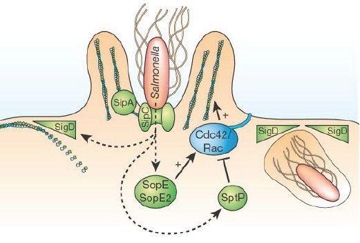 Проникновение бактерии
