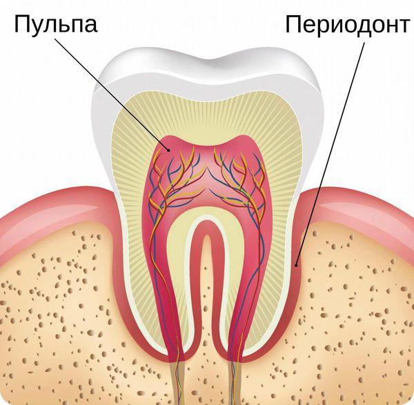 Пульпа и периодонт