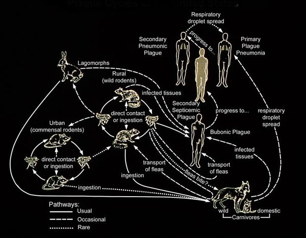 Цикл развития чумной палочки