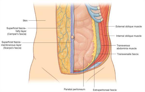 Анатомия брюшной полости