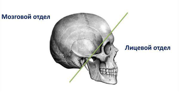 Мозговой и лицевой отделы черепа