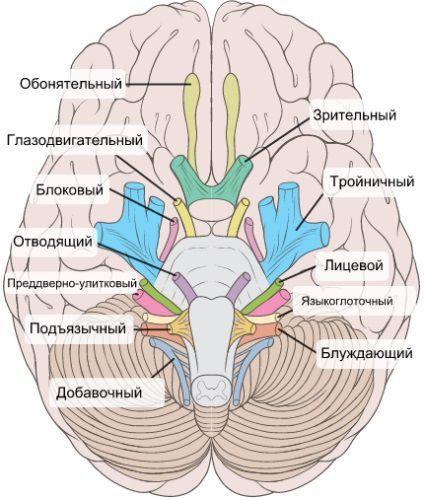 Черепно-мозговые нервы