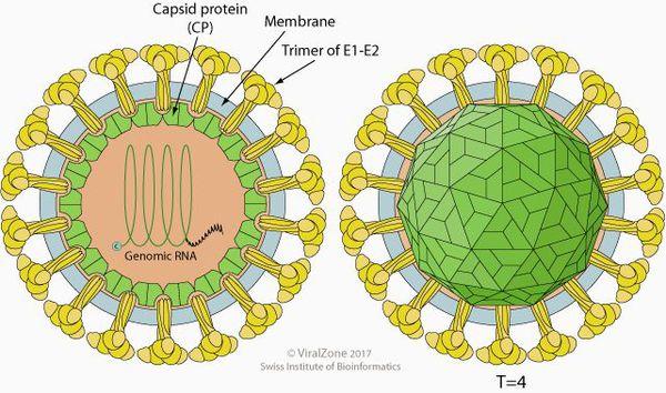 Строение вируса клещевого энцефалита