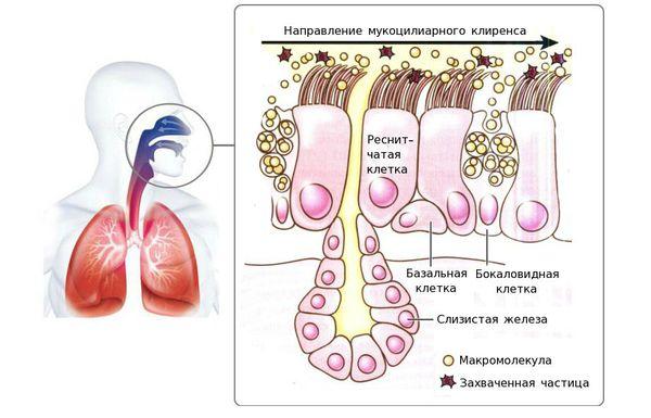 Мукоцилиарный клиренс