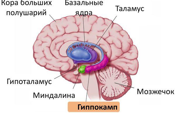 Расположение гиппокампа и гипоталамуса