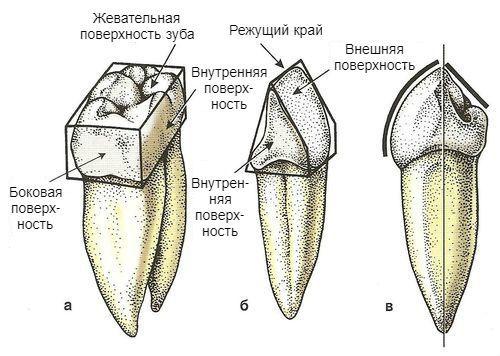 Поверхности зубов