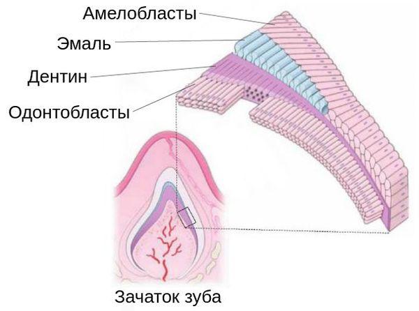 Строение зачатка зуба
