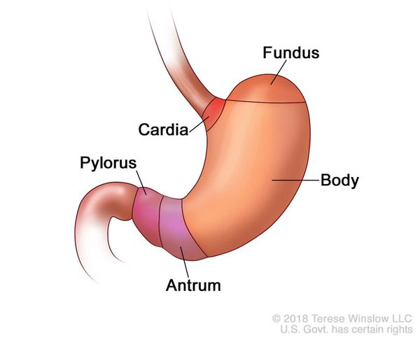 Кардия желудка