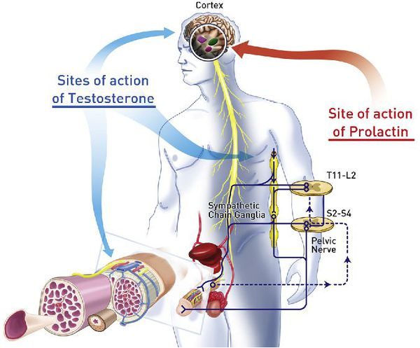 Системы организма, контролирующие функцию половых органов мужчины