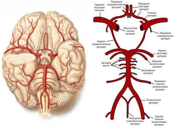 Передняя мозговая артерия и другие артерии внутри черепа