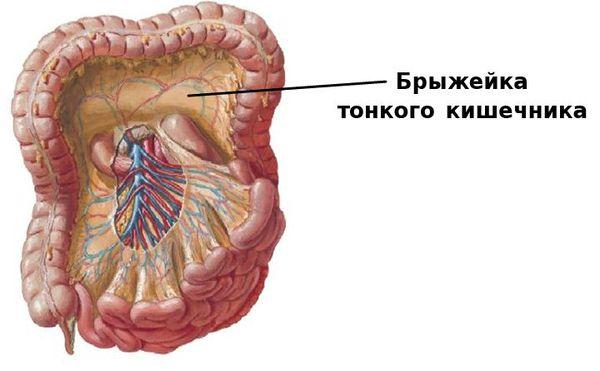 Брыжейка тонкого кишечника