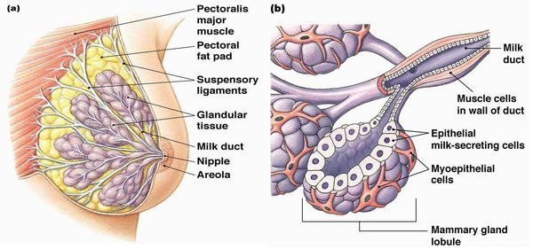Доли и дольки железистой ткани молочной железы