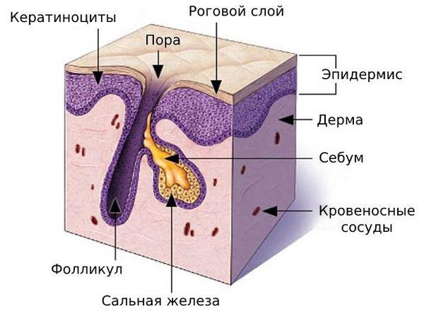 Строение сально-волосяного протока