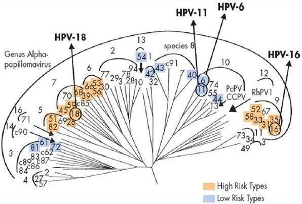 Классификация вируса папилломы человека