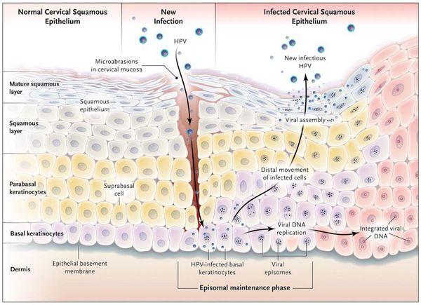 Размножение вируса в поражённых клетках