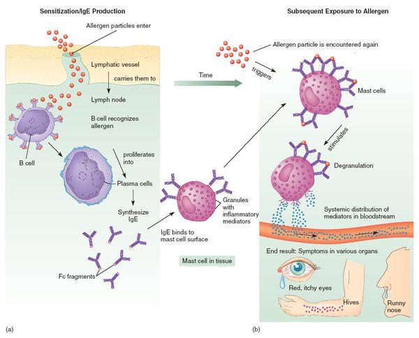 Воздействие аллергена