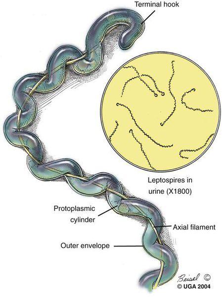 Бактерии Leptospira