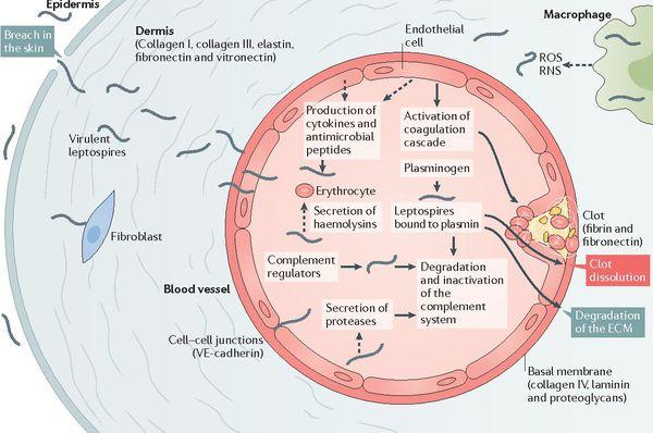 Проникновение возбудителя лептоспироза в кровоток