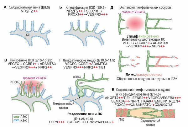 Лимфангиогенез