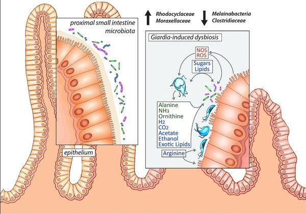 a szarvasmarha szalagféreg jelei a testben