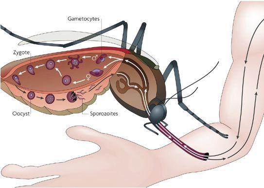 Цикл развития плазмодиев в организме комара