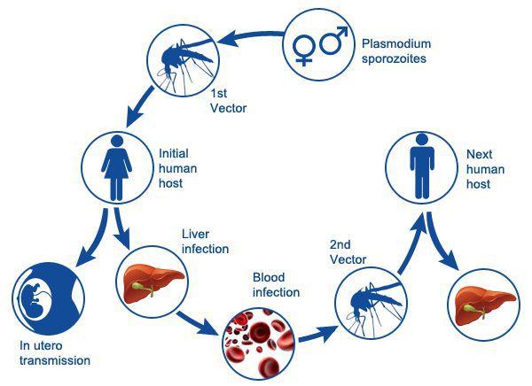 Механизмы передачи малярии