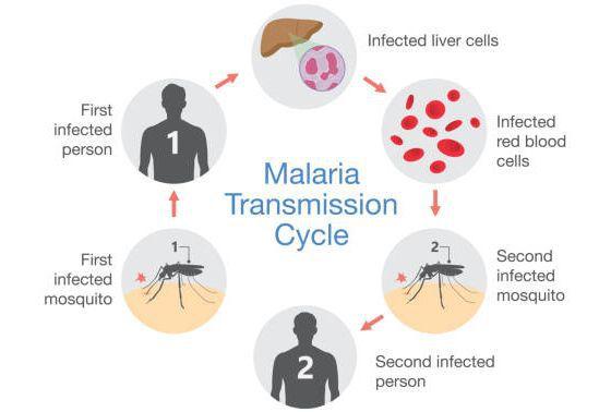 Принцип передачи малярии