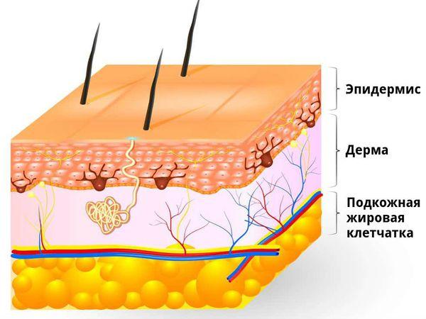 stroenie kozhi s - Народный рецепт лечения грибка стопы