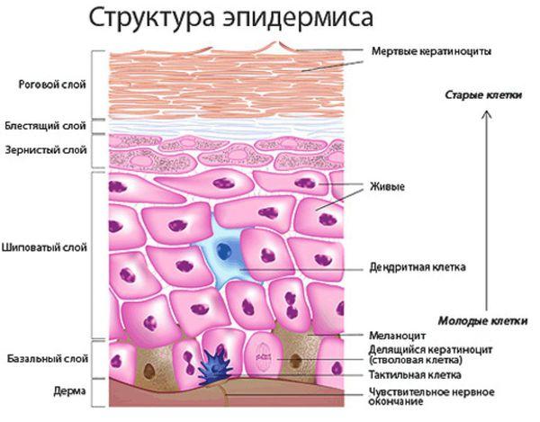 struktura epidermisa s - Народный рецепт лечения грибка стопы